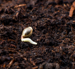 cannabis seed germination guide