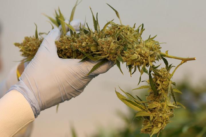 premium marijuana seed